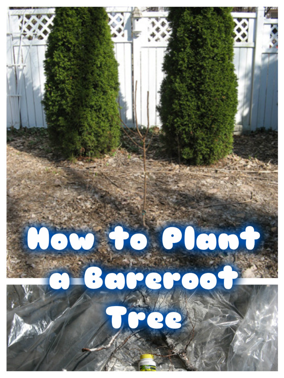 How to Plant a Bareroot Tree