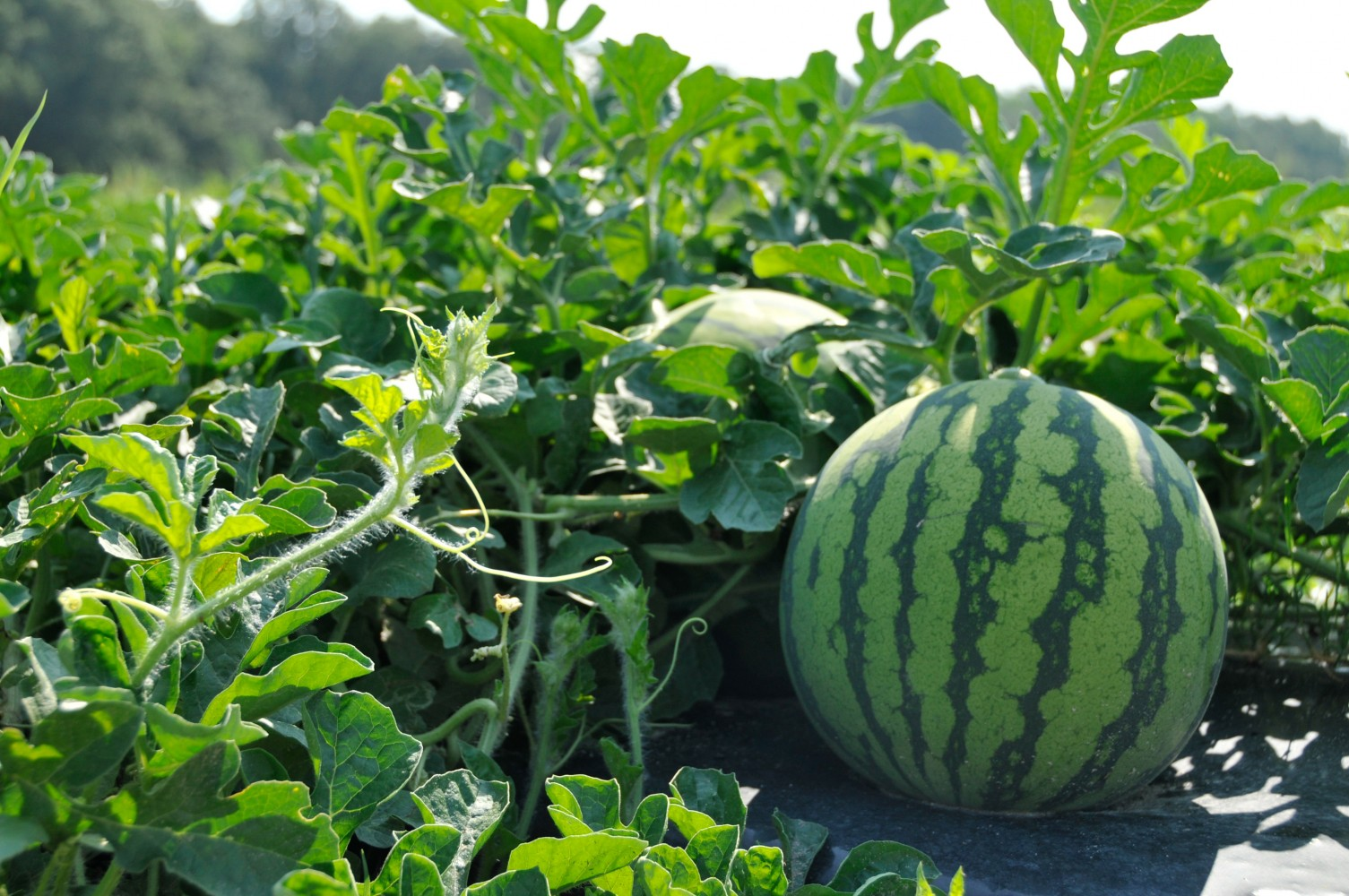 How to Growing and Harvesting Watermelon