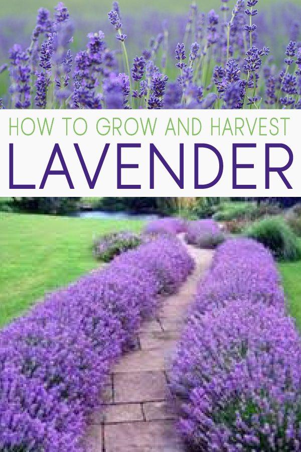 18 lavender plants Landscaping ideas