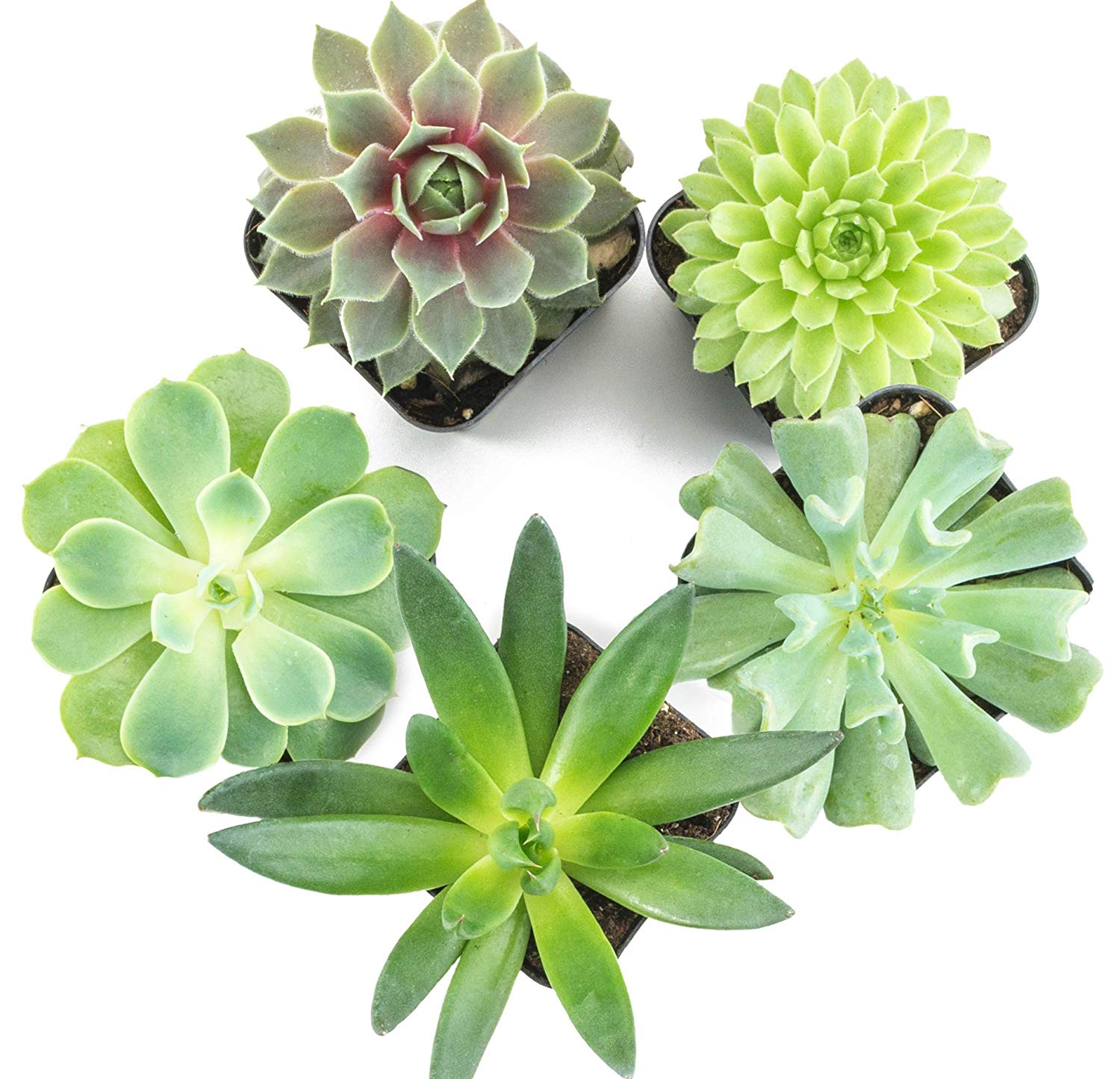 Succulent Plants Fully Rooted in Succulent Planter Pots with Succulent Soil