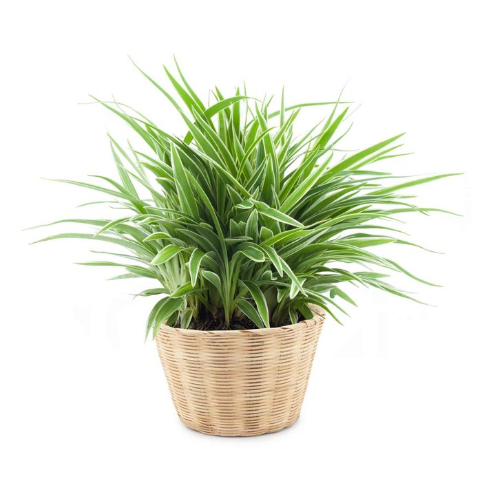Spider Plant -   LOW LIGHT HOUSE PLANTS