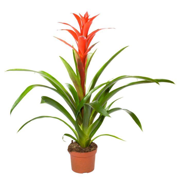 Bromeliads -   LOW LIGHT HOUSE PLANTS